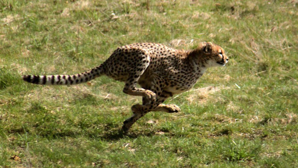 Gepardjagt1_(Acinonyx_jubatus)[1]